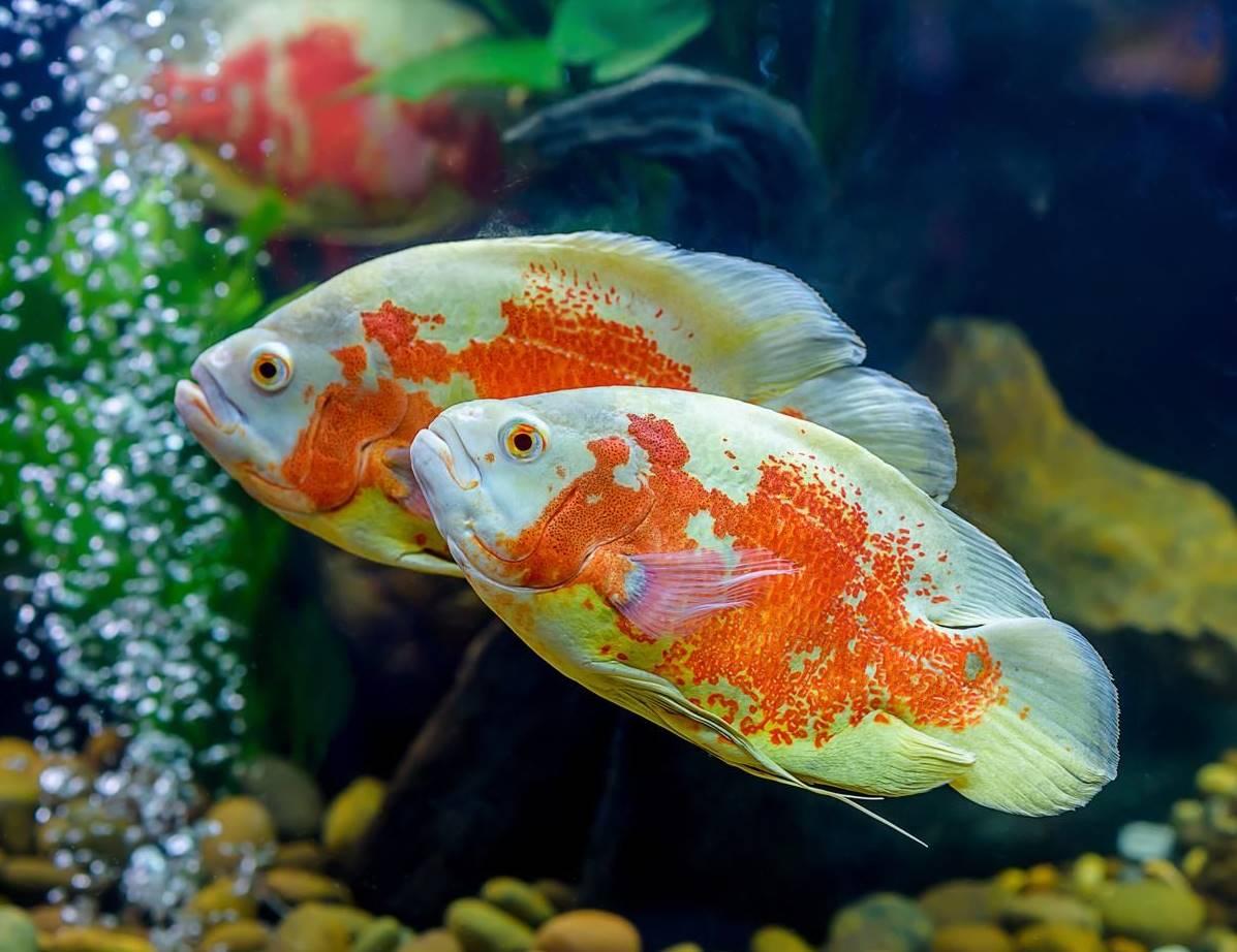 Oscar Fish – Care, Habitat, & Details You Need – CichlidTips com