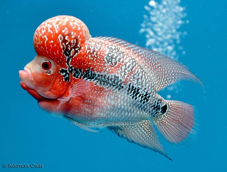 Flowerhorn Fish – Care, Habitat And Details You Need
