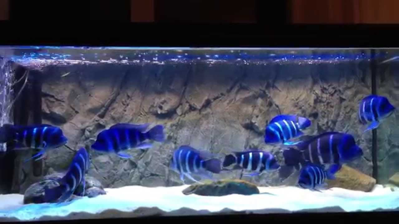 Frontosa Cichlid Fish Care Habitat And Everything You Need To