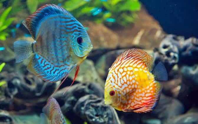 Discus Fish Care 5
