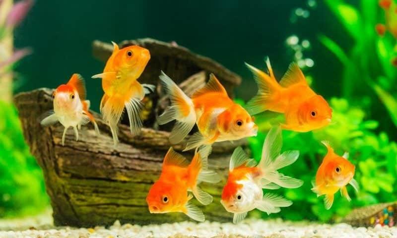 Types-of-Goldfish-for-Aquarium