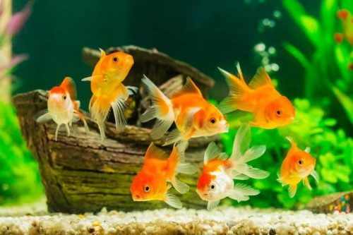 Types-of-Goldfish-for-Aquarium
