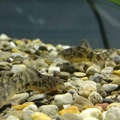 Corydoras Paleatus Tank Mates Care Aquarium Care Details